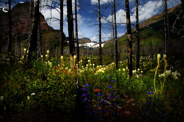 Glacier Flowers is are delicate flowers from Glacier National Park/ Shop In My Travels fine art photography by An Artist's View Photography