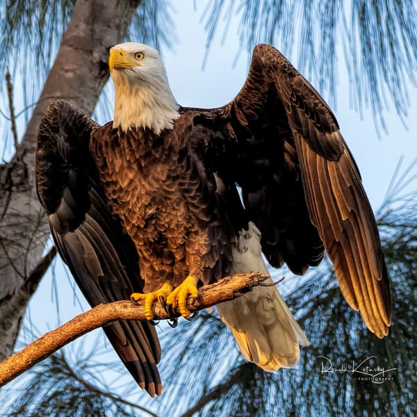 Morning  Light  on the Eagles of the Pines