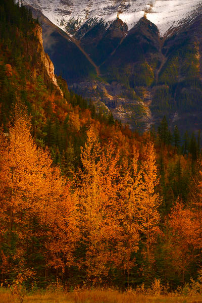 Larch trees in bloom at the entranceway to Yoho Valley.  Canadian Rockies Banff National Park Rocky Mountains 