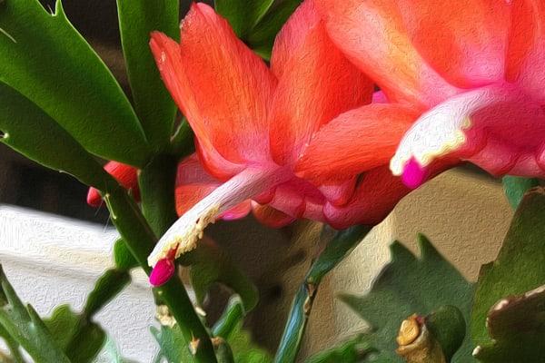 Christmas Cactus in Full Bloom - Debra Cortese photo-art