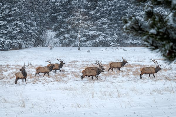 Photograph of Bull Elk Wandering In the SnowIn Rocky Moutain National Park
