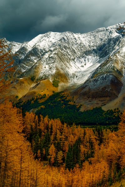 Snowcapped peaks and larch trees in Banff and the Canadian Rockies. |Banff National Park|Rocky Mountains|