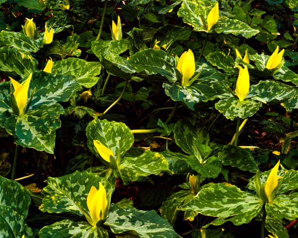 Yellow Trillium #8