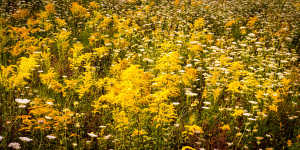 Meadow of Goldenrods Queen and Annes Lace