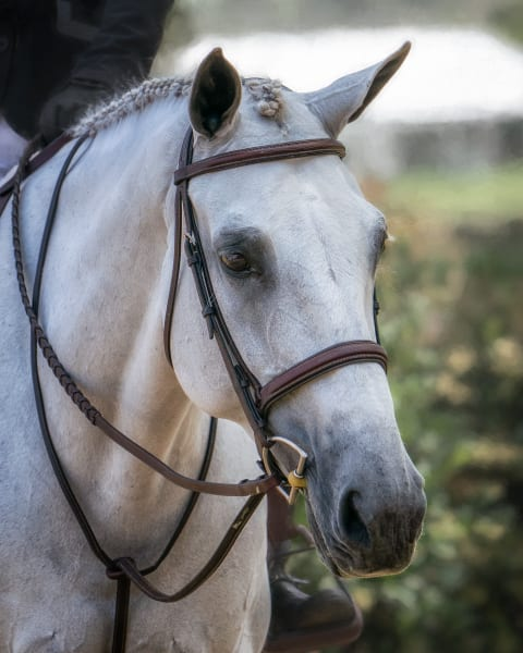 Bridle Portrait Of Dahlia 2 11x14 Photography Art | Carol Brooks Parker Fine Art Photography