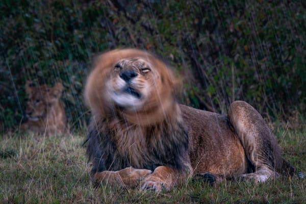 Lion Mane Shake  #2 Photography Art | Carol Brooks Parker Fine Art Photography