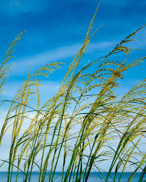 Sea Oats In An Ocean Breeze