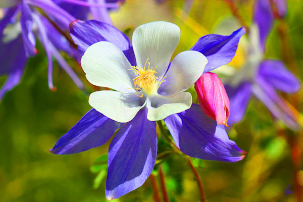 Columbine No. 1 print of photograph taken in the San Juan Mountains transformed into digital art for sale by Maureen Wilks