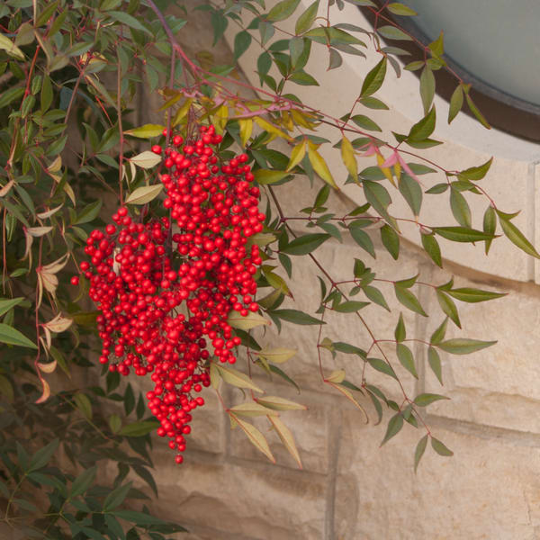 Red Valentine Berries
