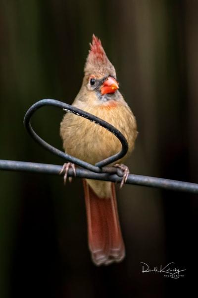 A Portrait of a Female Cardinal