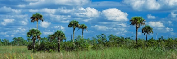 Palm Trees Everglades Np Florida Photography Art | ePictureGallery