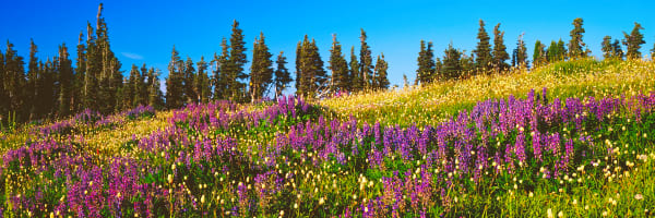 Meadow with blooming wildflowers, Olympic National Park