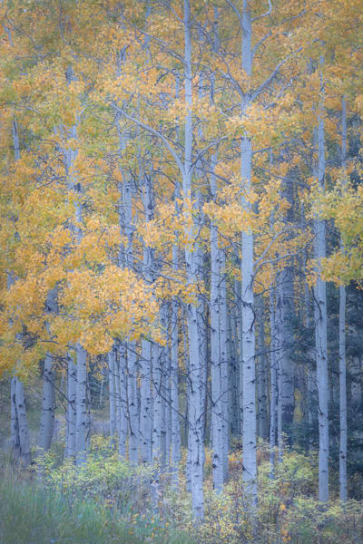 Blue Hour Aspens | Fine Art Photographer Charlotte Gibb