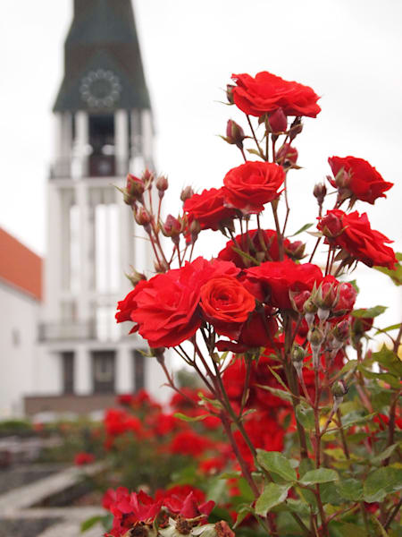 Domkirke and Roses
