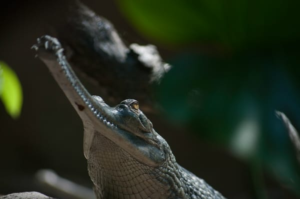 Gharial Photography Art   Kathleen Messmer Photography