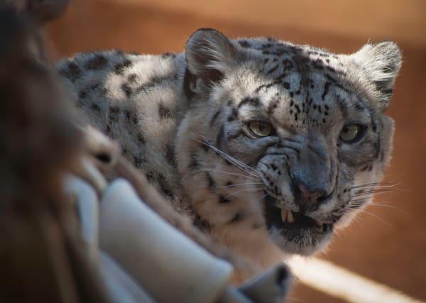 Snow Leopard Photography Art   Kathleen Messmer Photography