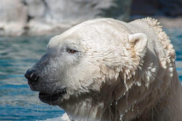 Polar Bear Photography Art   Kathleen Messmer Photography