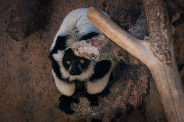 Lemur Photography Art   Kathleen Messmer Photography