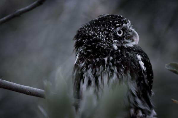 Pygmy Owl Photography Art   Kathleen Messmer Photography