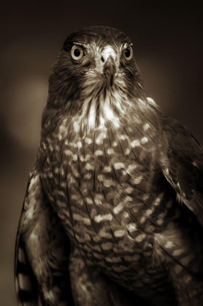 Cooper's Hawk Photography Art   Kathleen Messmer Photography