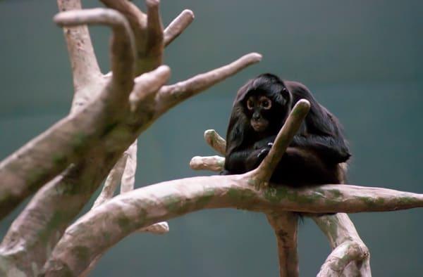 Dusky Leaf Monkey Photography Art   Kathleen Messmer Photography