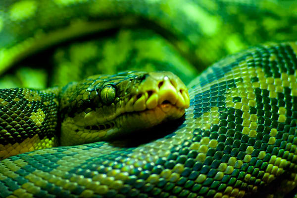 Green Snake Photography Art   Kathleen Messmer Photography