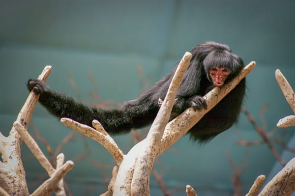 Red Faced Spider Monkey Photography Art   Kathleen Messmer Photography