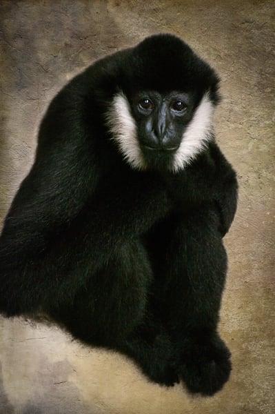 White Cheeked Gibbon 2 Photography Art   Kathleen Messmer Photography