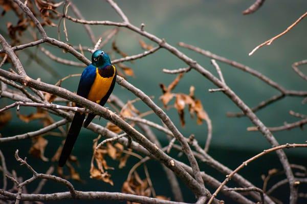 Orange Breasted Bird Photography Art   Kathleen Messmer Photography