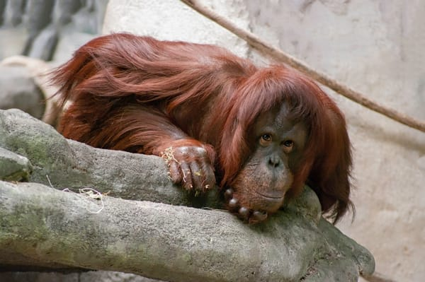Red Haired Orangutang Photography Art   Kathleen Messmer Photography