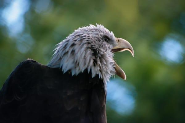 Eagle 2 Photography Art   Kathleen Messmer Photography