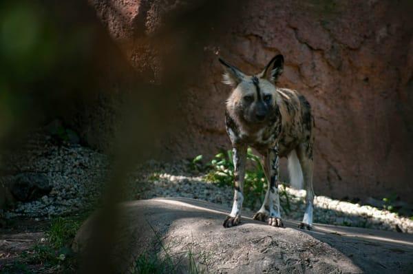 African Wild Dog Photography Art   Kathleen Messmer Photography