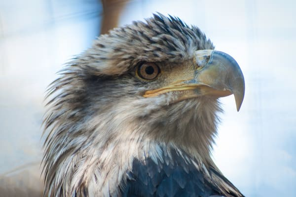 Blue Eagle Photography Art   Kathleen Messmer Photography