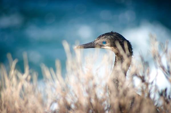 Blue Eyed Cormorant Photography Art   Kathleen Messmer Photography