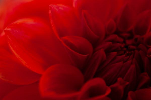 Red Dahlia Fine Art Photography