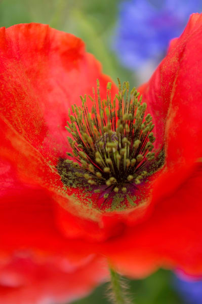 Red Paper Poppy Photography Art | Kathleen Messmer Photography