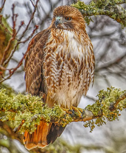 Wets Tisbury Red Tail Hawk Art | Michael Blanchard Inspirational Photography - Crossroads Gallery