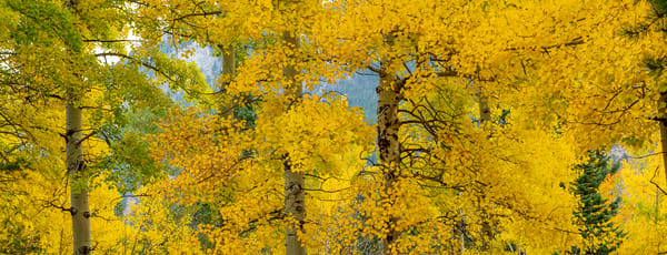 Photo of Strand of Colorado Aspen Trees with Beautiful Fall Colors in RMNP