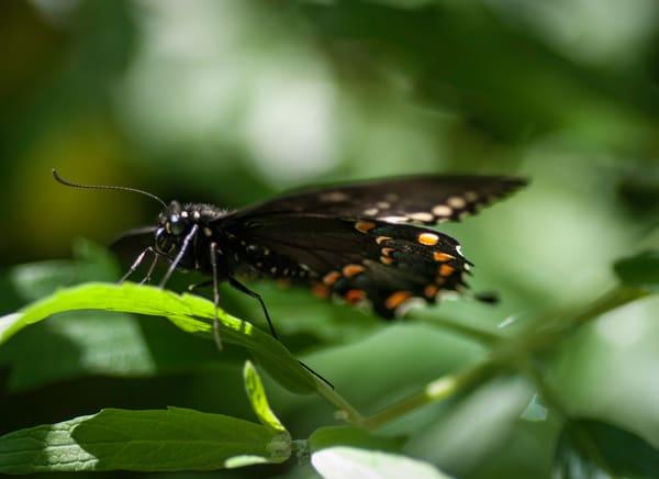 Polydamas Swallowtail Photography Art | Kathleen Messmer Photography