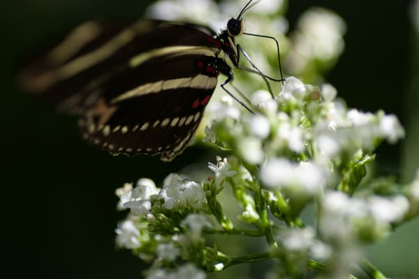 Hewitson's Longwing 3 Photography Art | Kathleen Messmer Photography