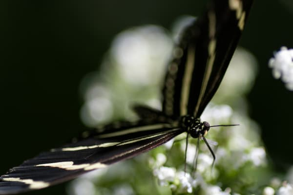 Hewitson's Longwing 2 Photography Art | Kathleen Messmer Photography