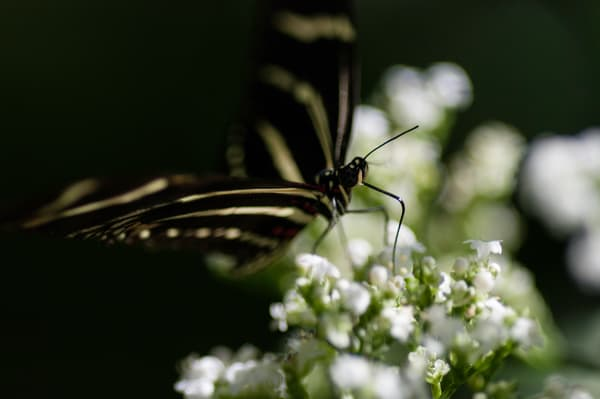 Hewitson's Longwing Photography Art | Kathleen Messmer Photography