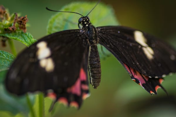 Black, Red, And White Butterfly Photography Art | Kathleen Messmer Photography