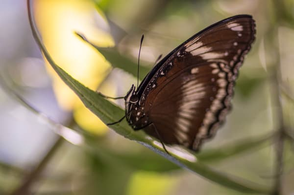 Brown And White Butterfly 3 Photography Art | Kathleen Messmer Photography