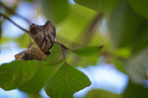Brown And Black Butterfly Photography Art | Kathleen Messmer Photography