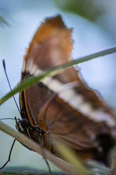Brown And White Butterfly Photography Art | Kathleen Messmer Photography