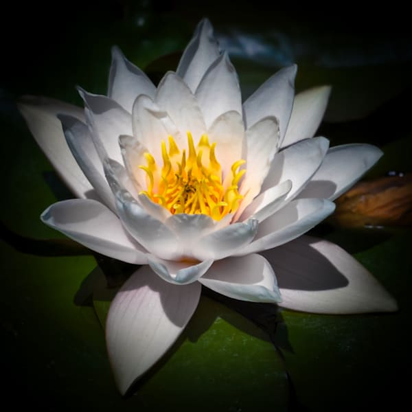 White Waterlily Photography Art | FocusPro Services, Inc.