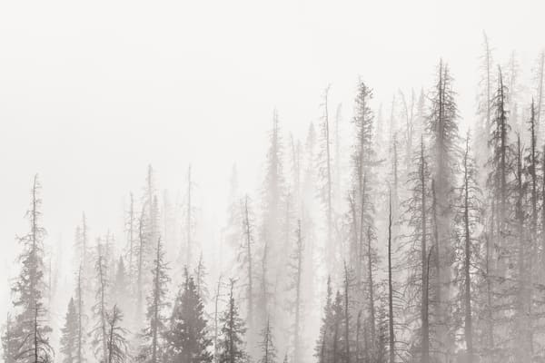 High Key Photo of Pine Forest in Fog & Mist Rocky Mountain National Park Colorado