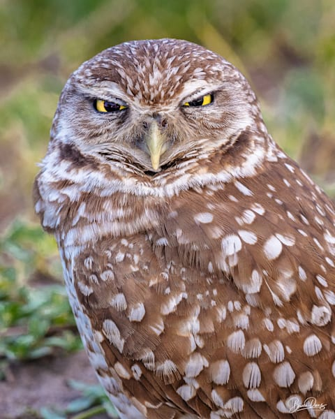 Burrowing Owl Stare Down Photography Art | brucedanz