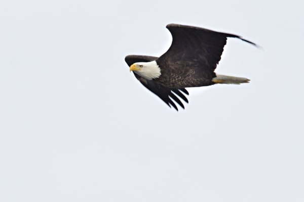 Soaring Eagle Photography Art | LHR Images